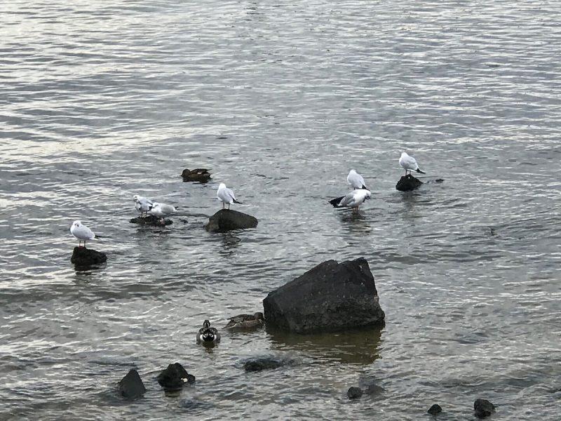 甲子園浜の冬の鳥たち