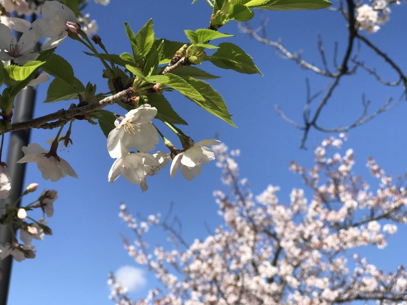 学園花通り 桜