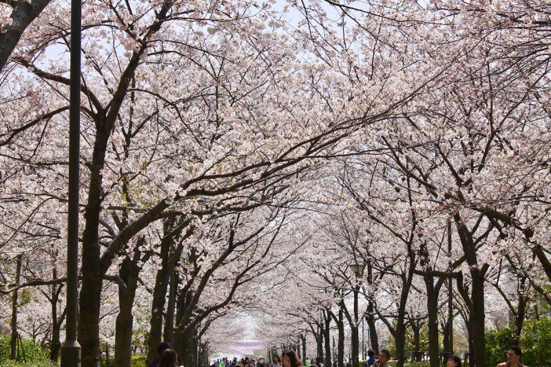 西宮浜の桜