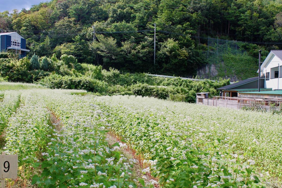 船坂 ソバ畑 9−14