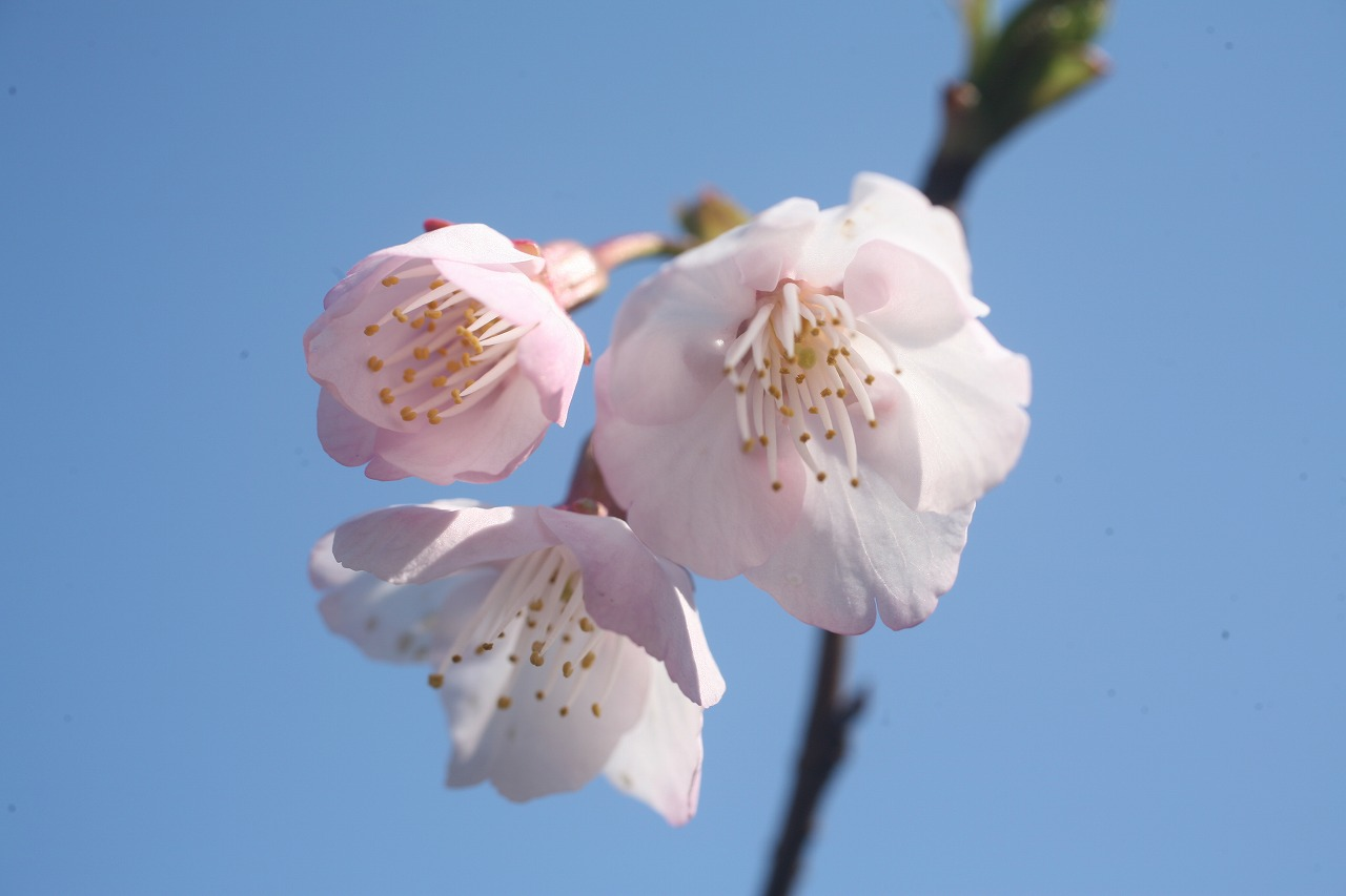 大東公園の早咲き桜