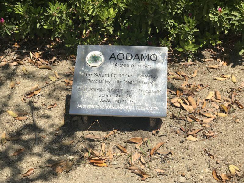 アオダモ 白球の森