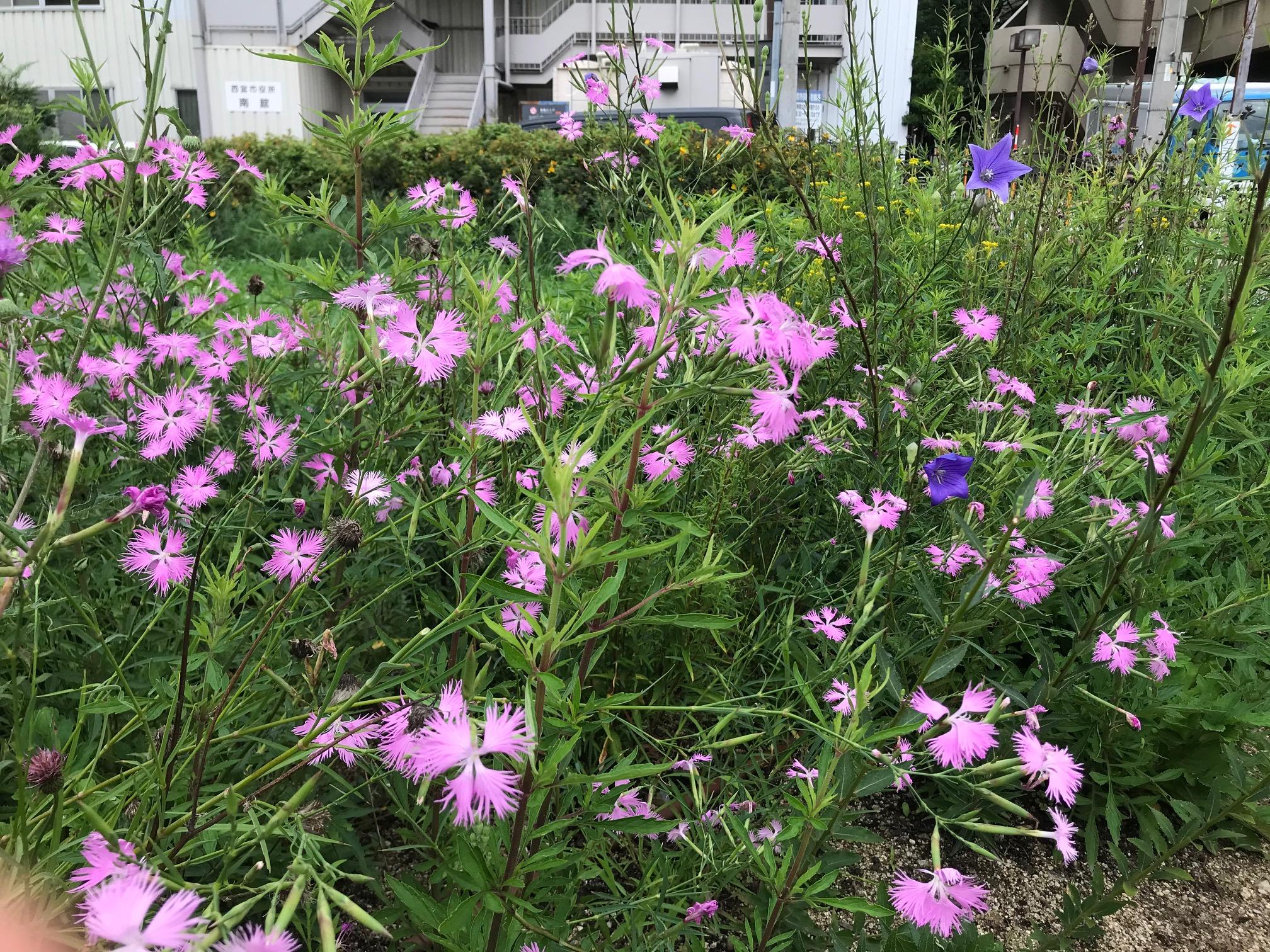 在来種花壇 六湛寺南公園