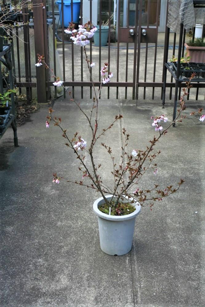 新種の桜 オリジナル桜