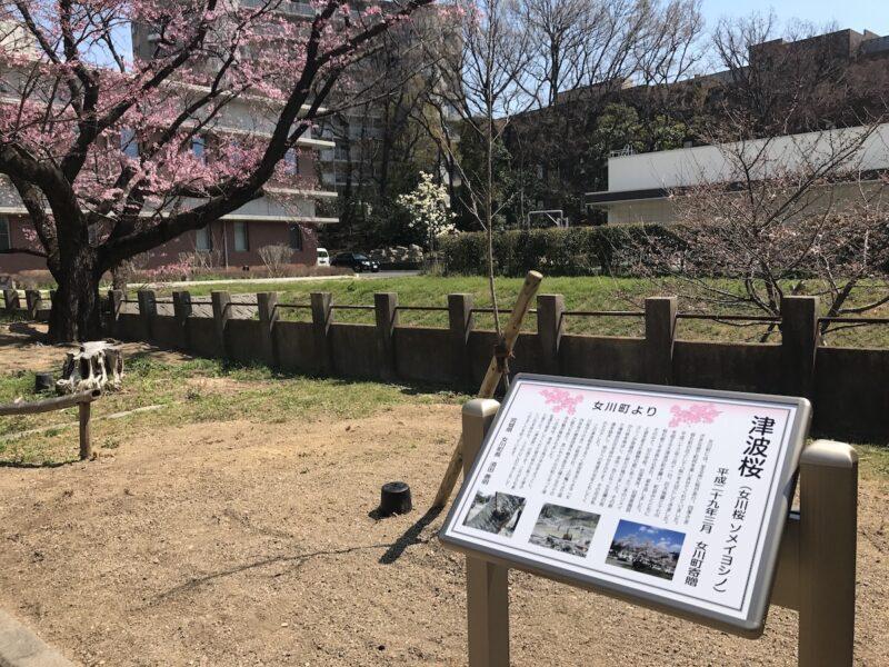 越水浄水場 津波桜